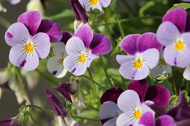 anh dep hoa violet