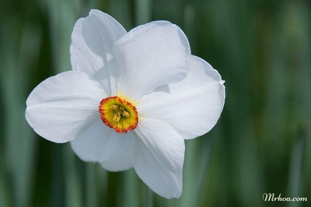 Biểu tượng của hoa thủy tiên