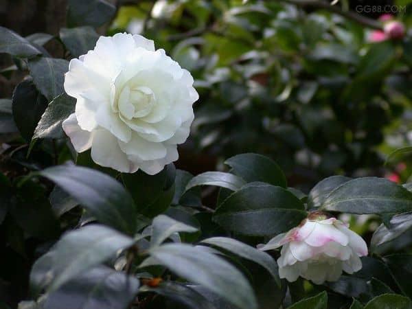 hoa sơn trà trắng