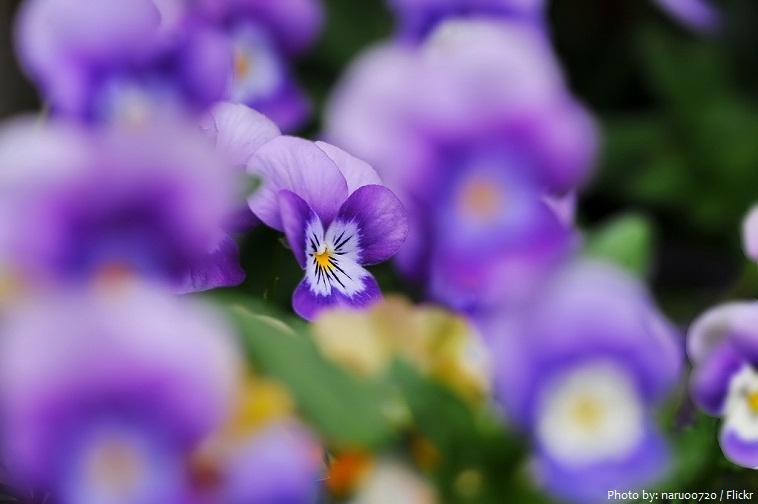 cay hoa violet