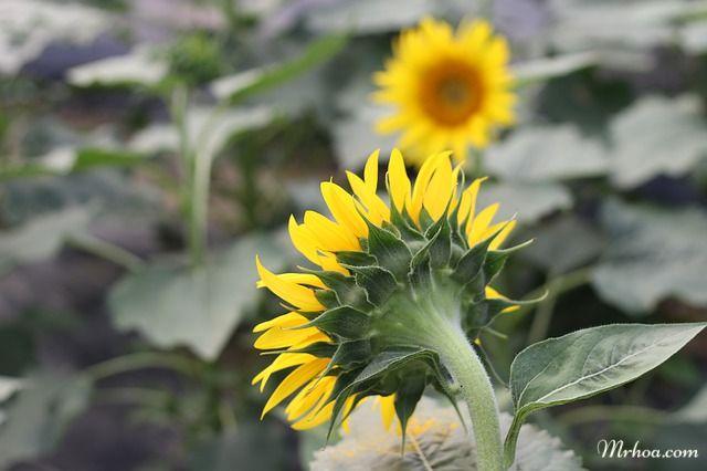Hoa hướng dương có ý nghĩa gì