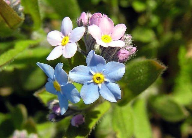 hoa luu ly tim trang xanh