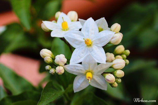 Hoa nhài đẹp nên được trồng làm cây cảnh