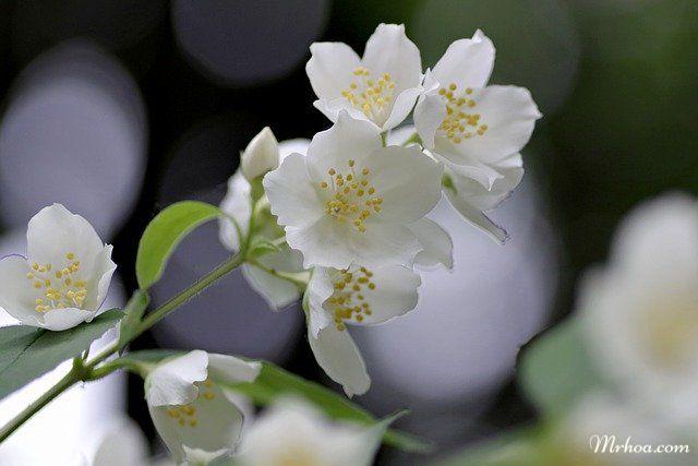Hoa nhài sử dụng làm nước hoa, mỹ phẩm