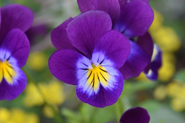 hoa violet dep