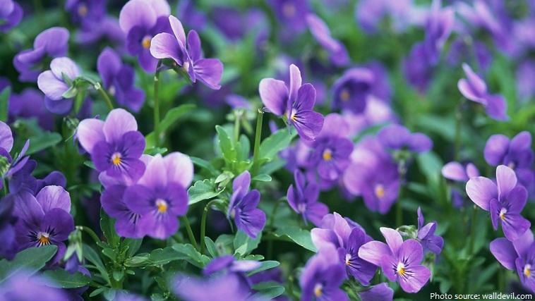 Hoa violet: hình ảnh đẹp và ý nghĩa của nó | mrhoa.com