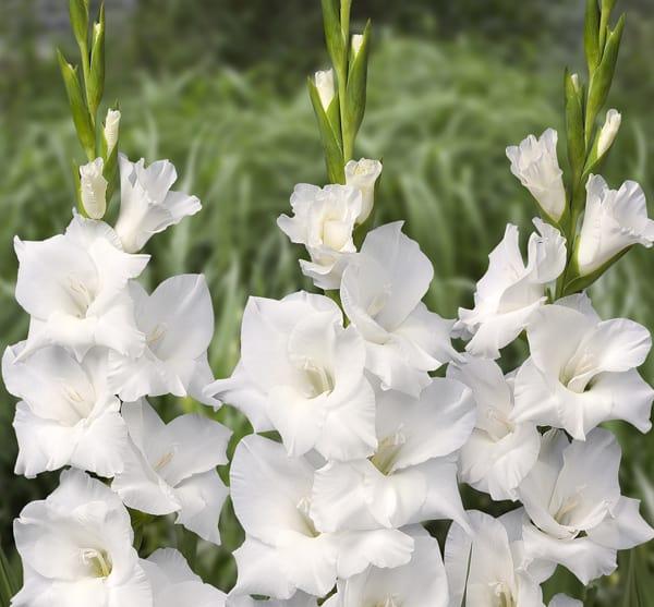 hoa layon mau trang
