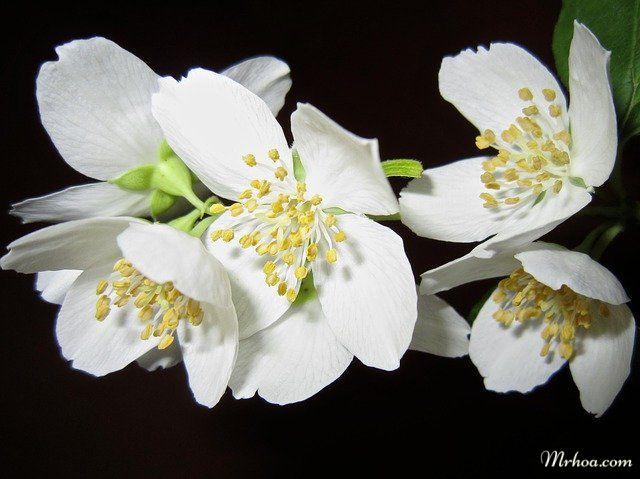 Nguồn gốc hoa nhài