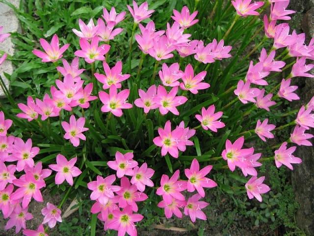 hoa thủy tiên hồng