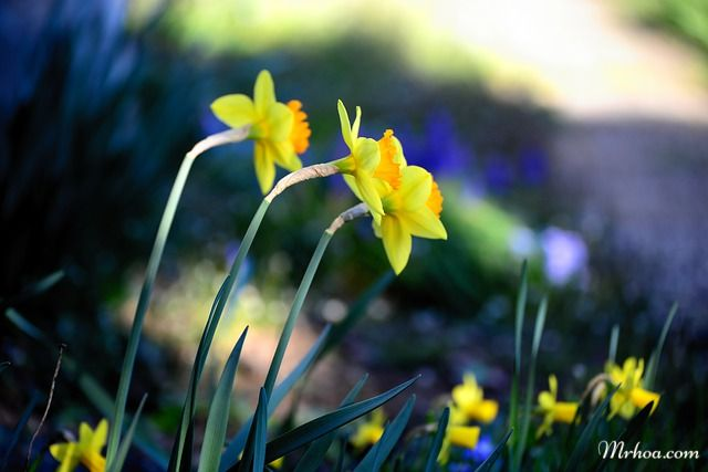 Vườn hoa thủy tiên