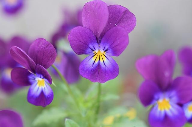 y nghia hoa violet