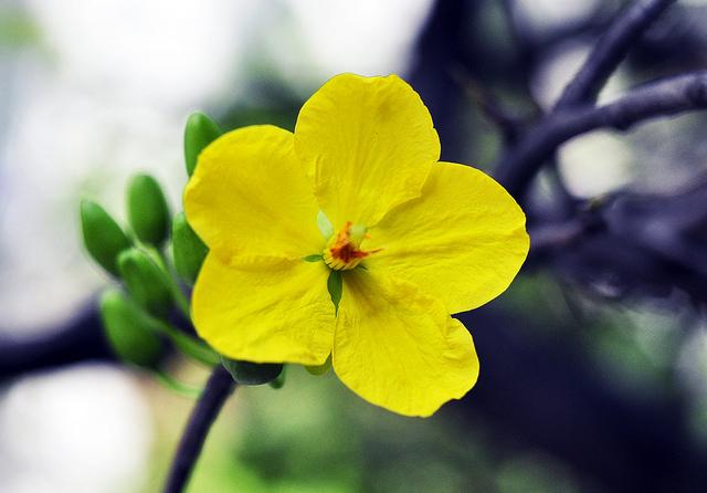 hoa mai y nghia