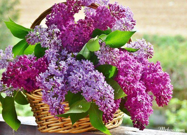 Hoa tử đinh hương tượng trưng cho điều gì