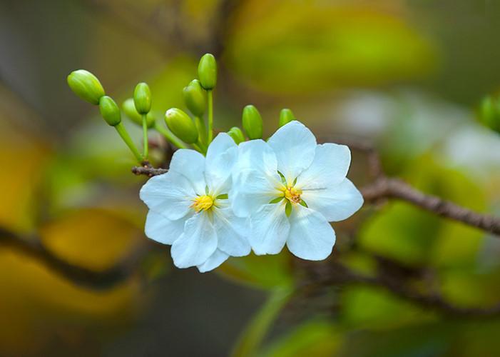 y nghia hoa mai