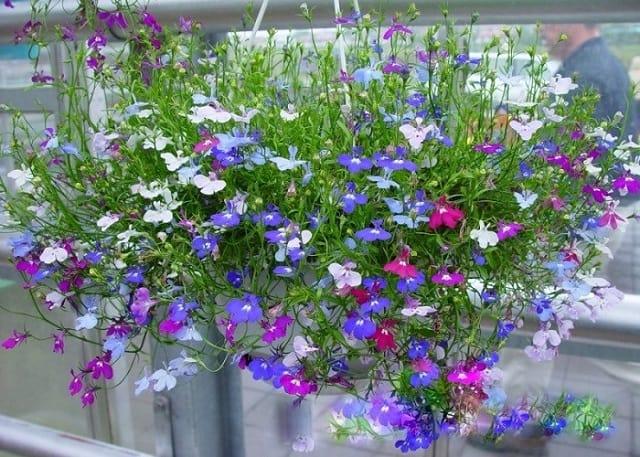Hoa thuy diep mau xanh
