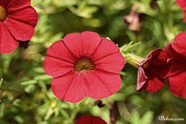 Hoa dạ yến thảo đỏ