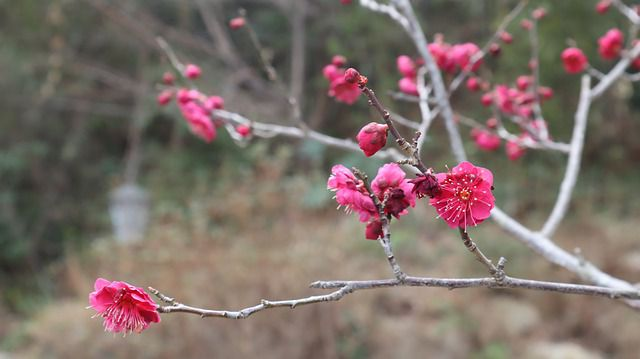 Hoa mai đỏ