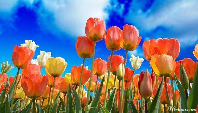 hoa đẹp tulip