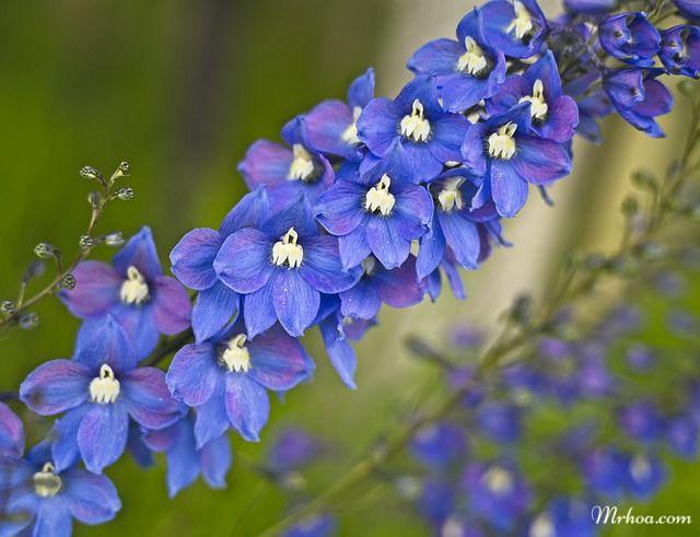 Hình hoa phi yến