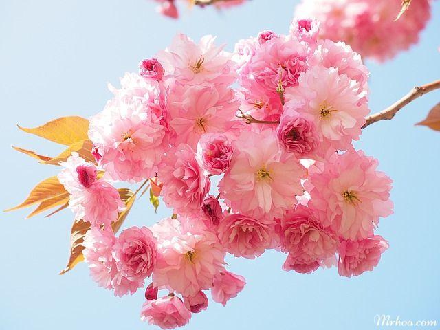Những loài hoa đẹp nhưng lại rất độc