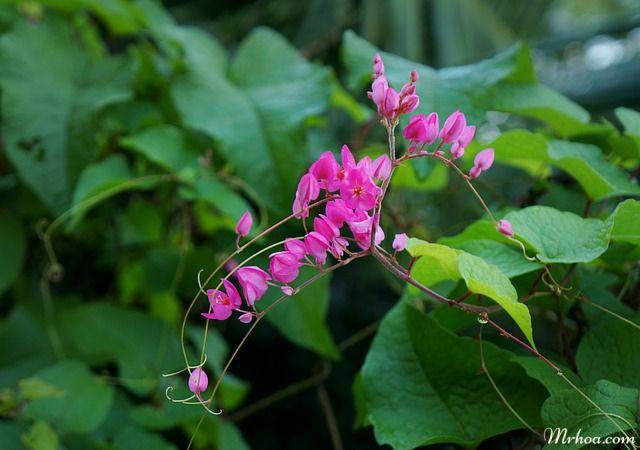 Hoa đẹp tigon