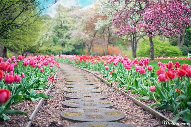 Hoa dep tulip