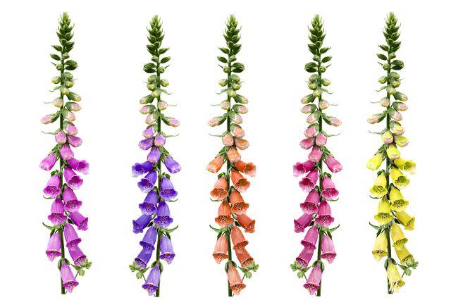 Hoa phi yến nở tháng 7