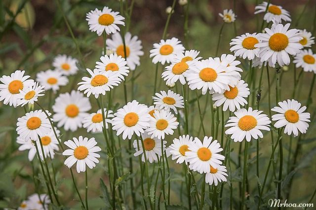 anh dep hoa cuc dai