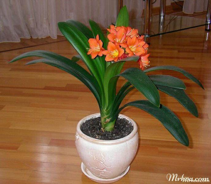 Hoa lan quân tử - Cách trồng và chăm sóc lan quân tử