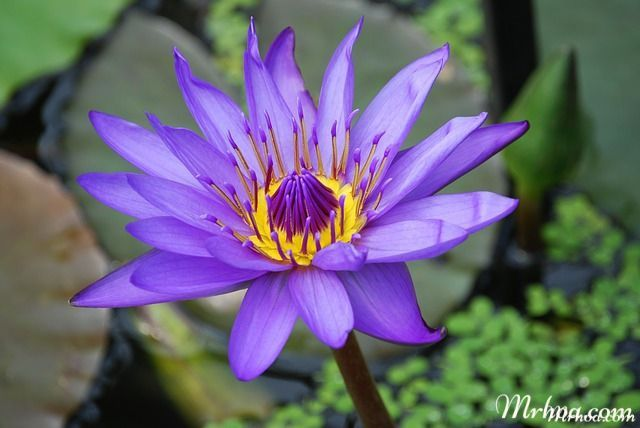 hoa sung xanh dep