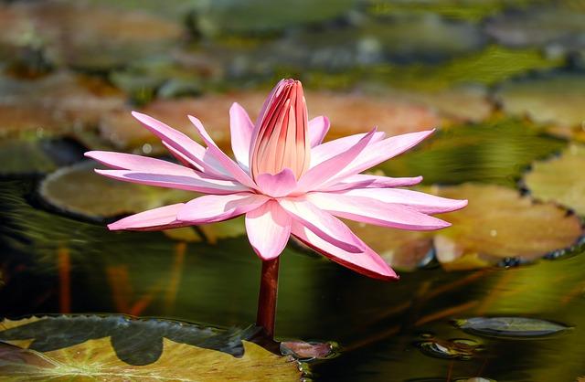 hoa sung hong