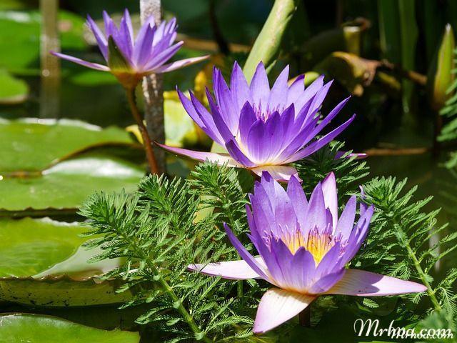 hoa sung xanh