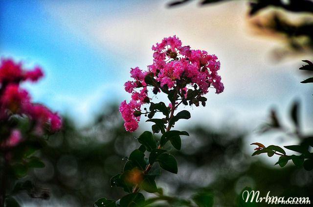 hoa tuong vy dep