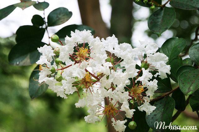 hoa tuong vy trang