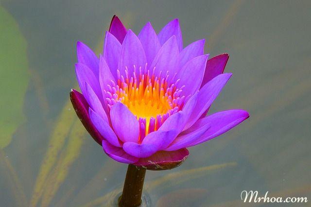 y nghia hoa sung