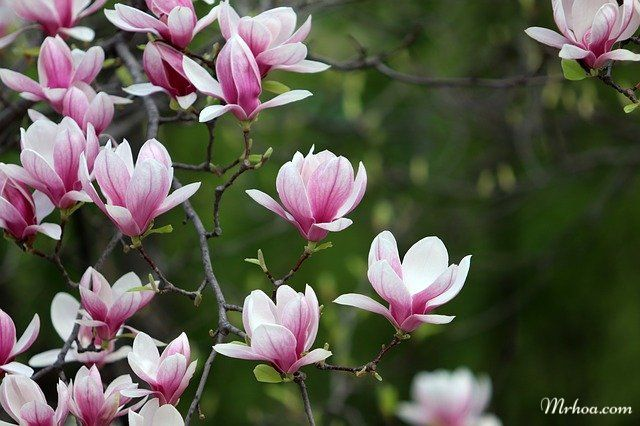 Moc lan hoa lon