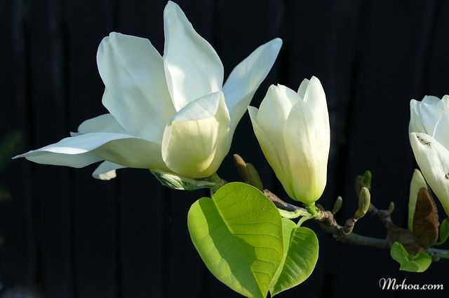 Moc lan hoa trang