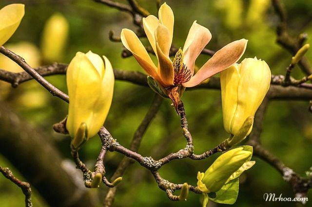 Hoa mộc lan vàng