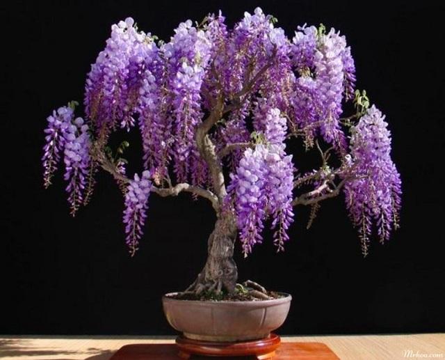 bonsai hoa tu dang