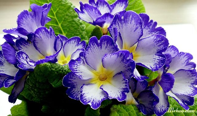 Hoa anh thảo xanh
