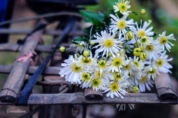 cuc hoa mi ha noi dep