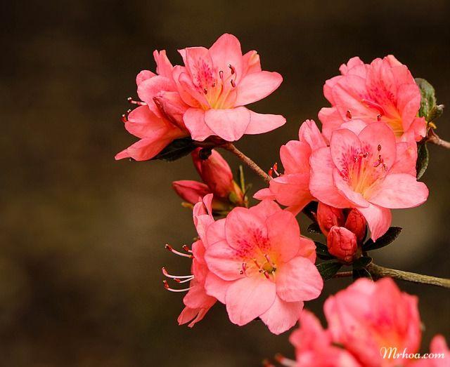 đỗ quyên nở hoa dịp tết