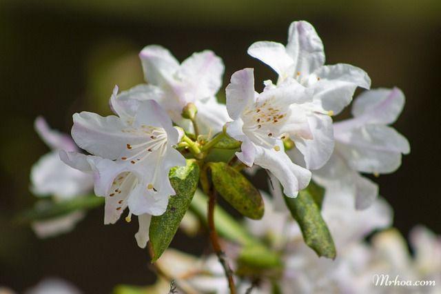 hoa đỗ quyên đẹp dịu dàng