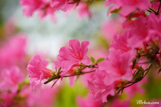 Hoa đỗ quyên có độc
