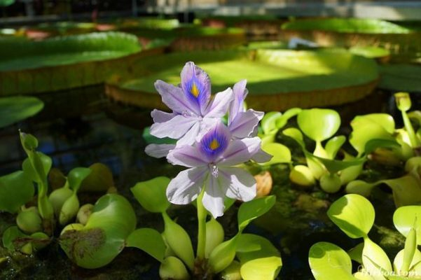 hoa luc binh