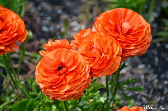 hoa mao luong