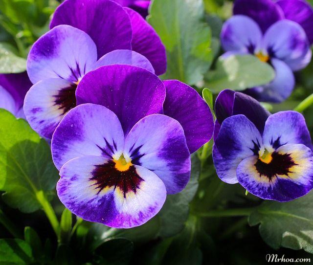 hoa pan trang