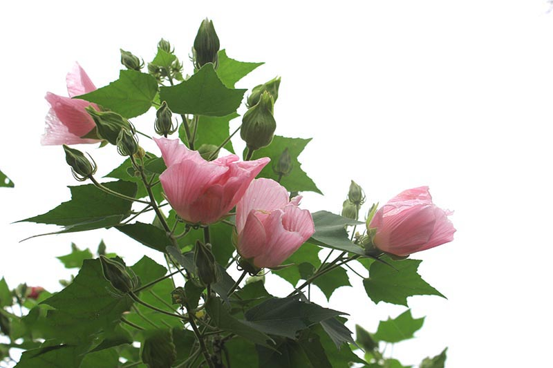 hoa phu dung dep
