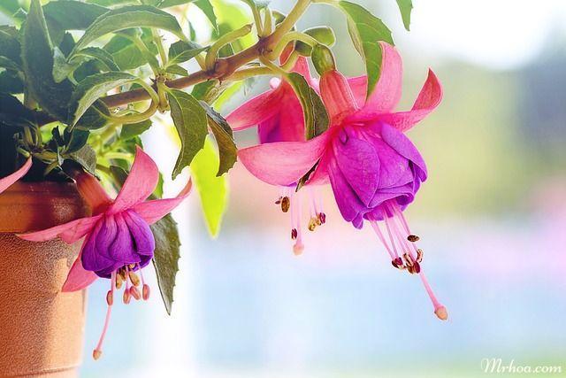 cay hoa long den