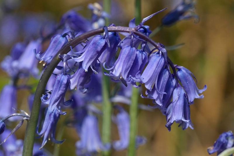 hoa chuong xanh